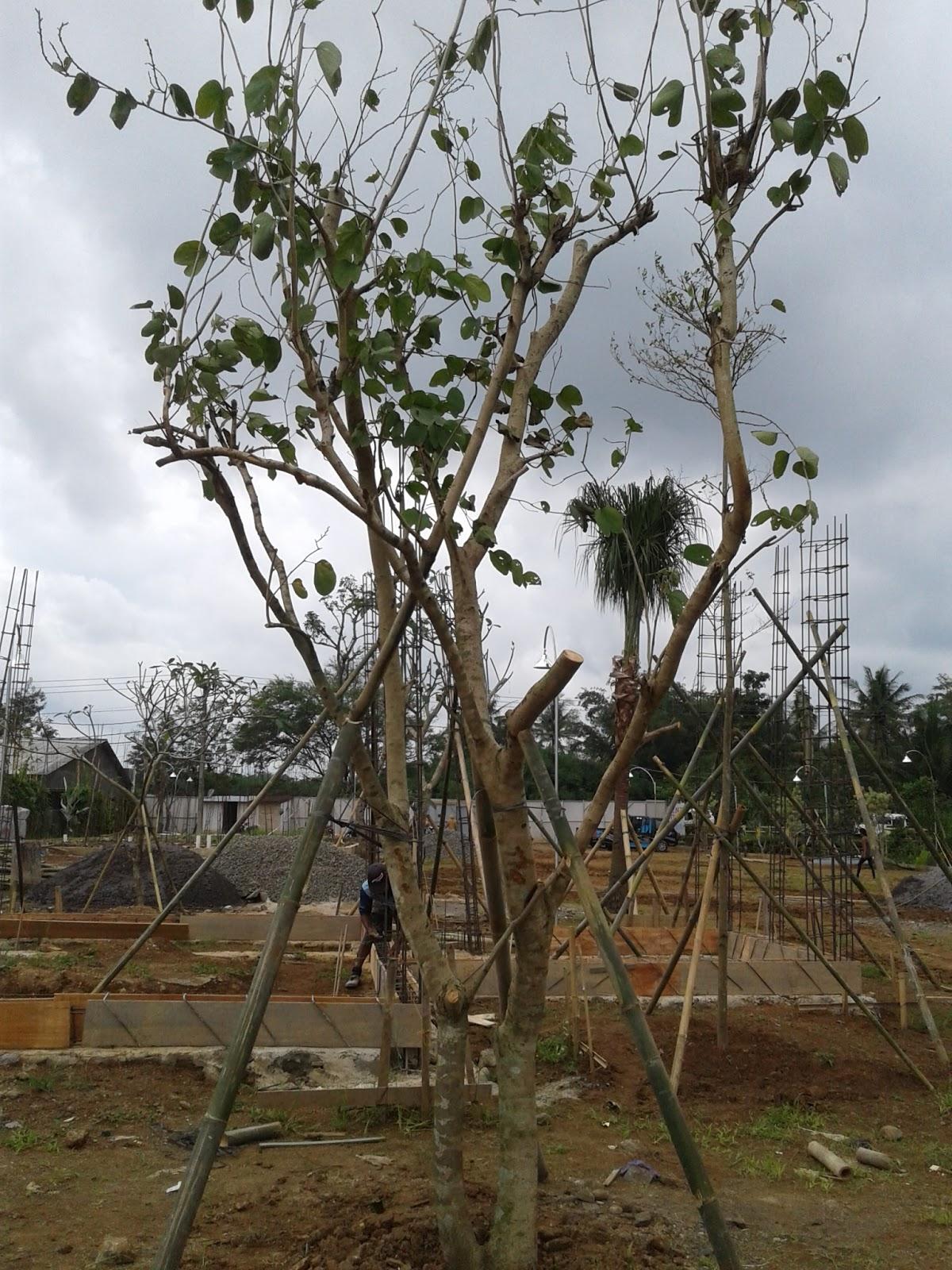 Pohon Kupu Kupu : pohon, Flower:, Pohon