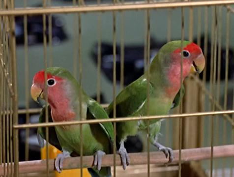 Los agapornis de Cathy Brenner (Veronica Cartwright) en Los pájaros - Cine de Escritor