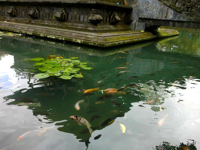Fish in Tierta Empul Temple
