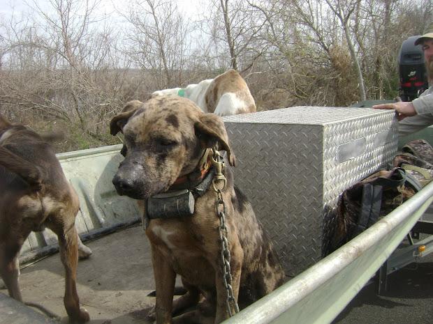 Catahoula Hog Dog Breeders - Year of Clean Water