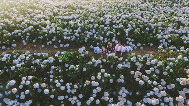 Discovering hydrangeas field in Da Lat 3