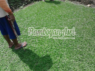 Jasa Tukang taman Surabaya Jual Rumput Gajah Mini