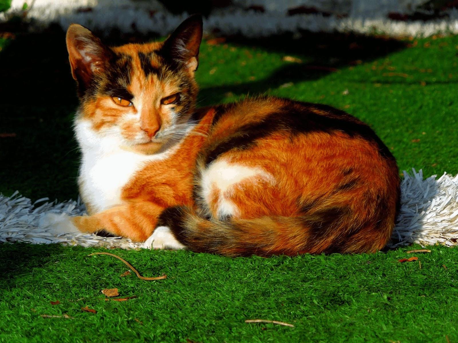 gatto randagio animale felino