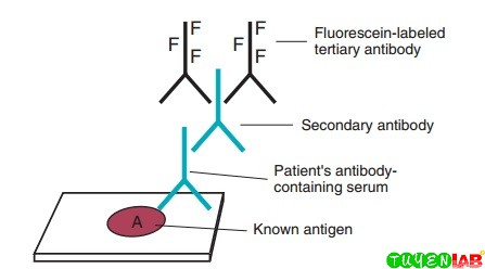 Double indirect fluorescent antibody tests for antibody detection.