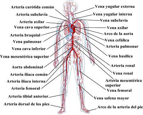 Anatomía y fisiología del sistema circulatorio: principales ...