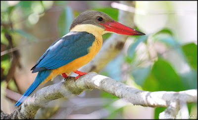 """Burung Stork Billed Kingfisher"""