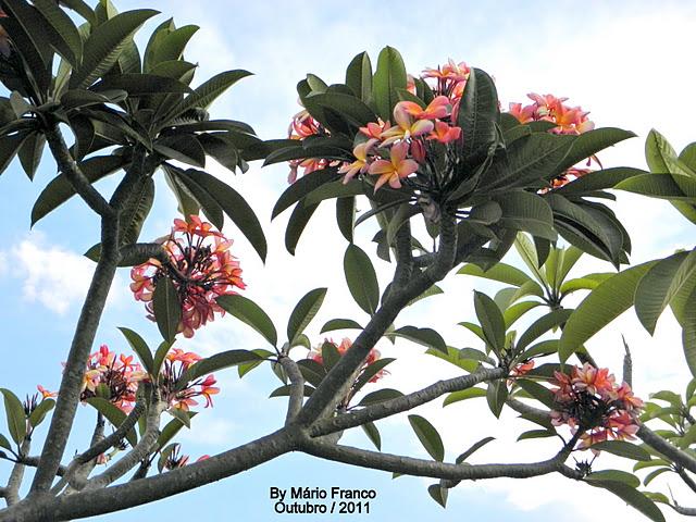 ff930f2bb9 JASMIM-MANGA - ( Plumeria rubra )