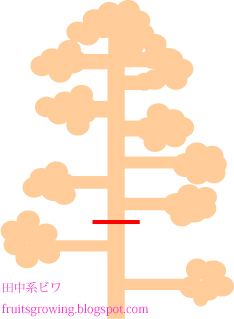 田中ビワの花もぎ(摘蕾・摘花)ビワの育て方