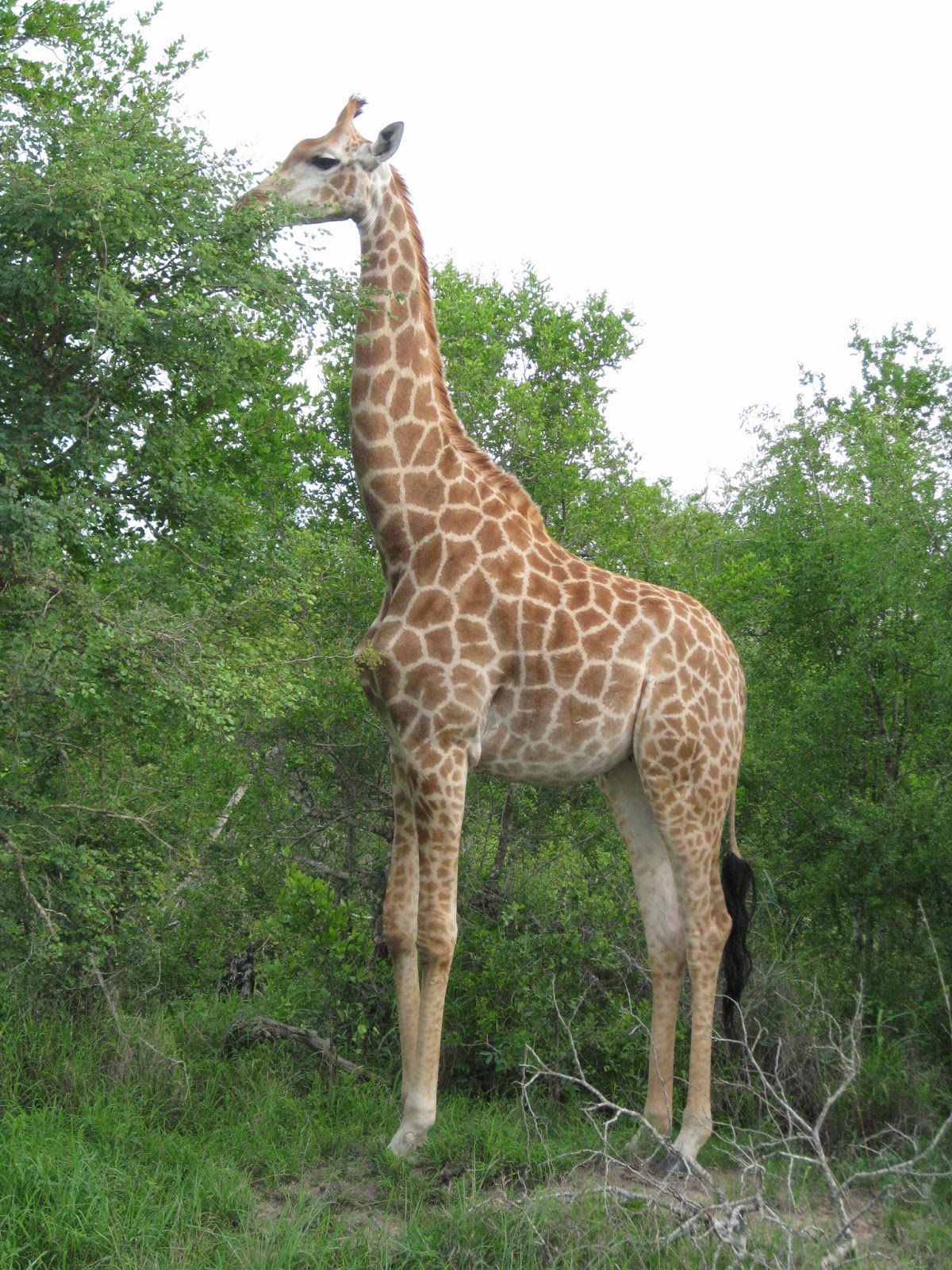 Sabi Sands - Giraffe feasting on some tall trees