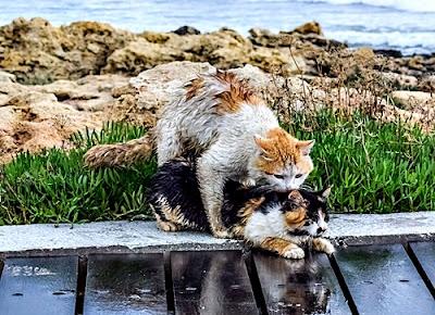 kedilerde kızışma dönemi