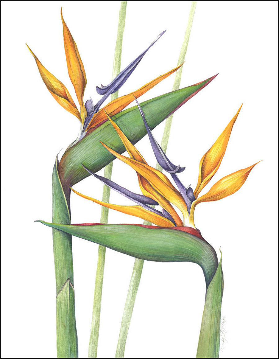 It's just a picture of Hilaire Bird Of Paradise Drawing