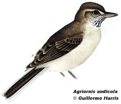 Gaucho andino Agriornis andicola