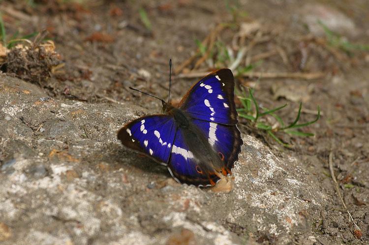 Purple Emperor | Anima...