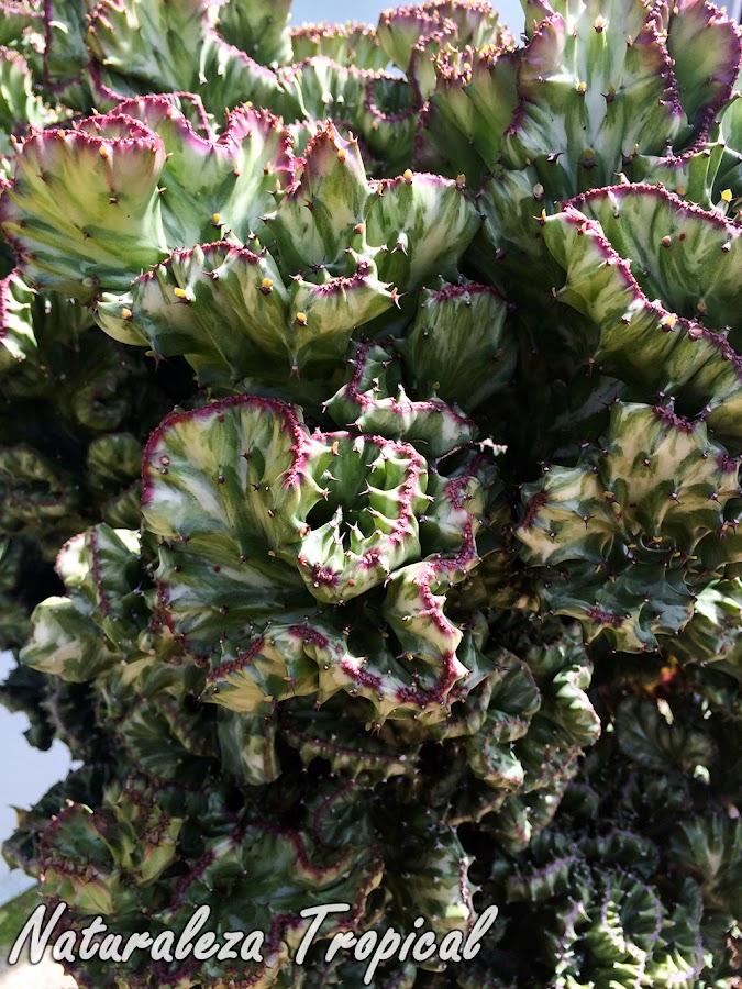 Variedad cristata del Cardón o Planta Candelabro, Euphorbia lactea cristata
