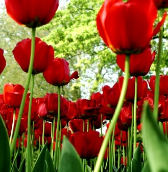Foto de tulipanes en el campo