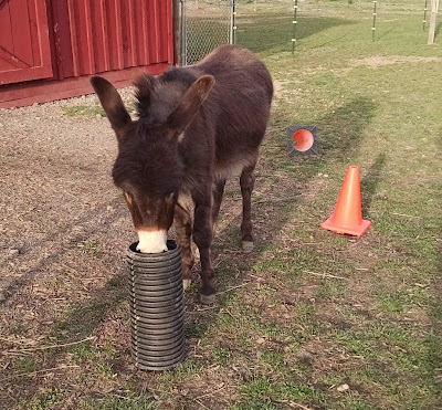 miniature donkey with piece of plastic drain pipe