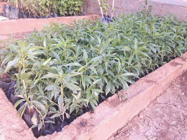 مشتل جميع انواع الأشجار والنباتات عند الإخوان الجبوري