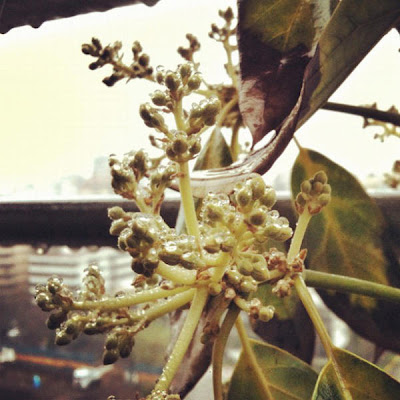 iPhoneography: October 5 2012 Selection, pablolarah,Pablo Lara H,avocado tree,santiago de chile, rain