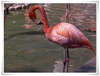 Flamingo Animal Pictures
