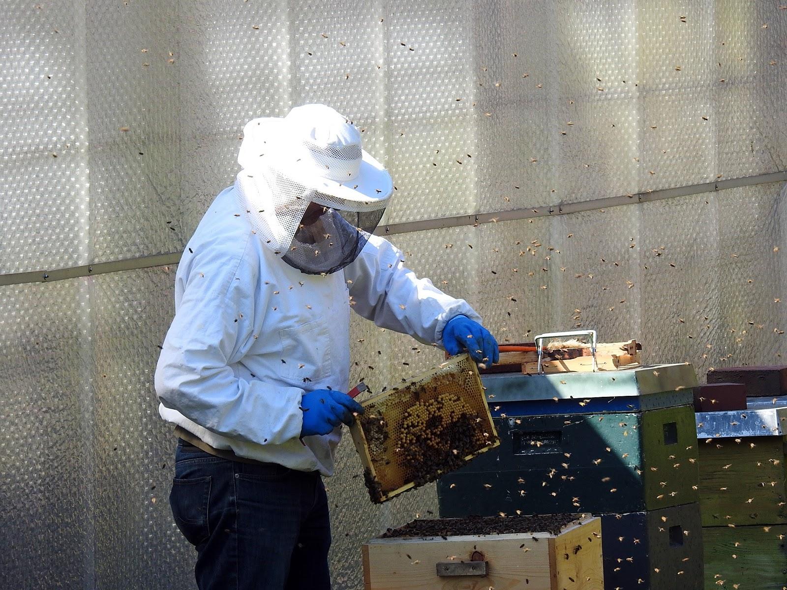 蜜蜂の巣を持ち上げて確認している養蜂家と飛び交う数多くの蜜蜂