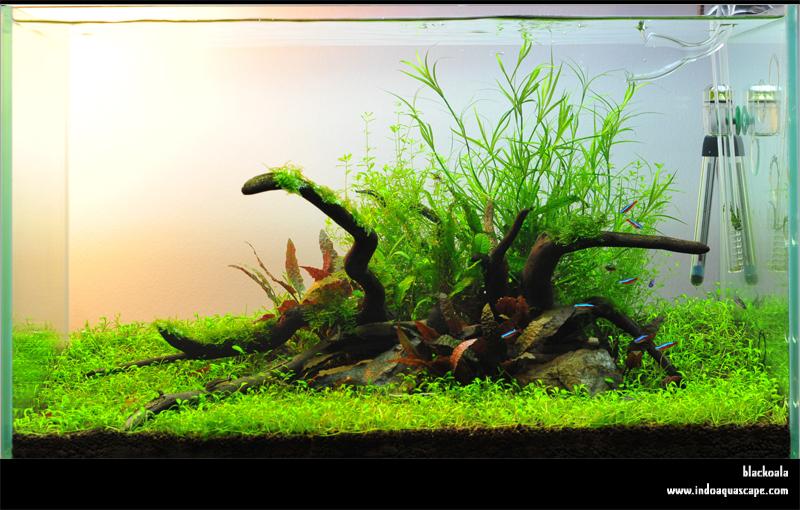 Cây cỏ bắp trong một hồ thủy sinh bố cục đơn giản - ảnh chiaroscuro19