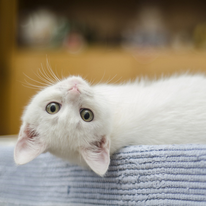 white cat with head tilted upside down