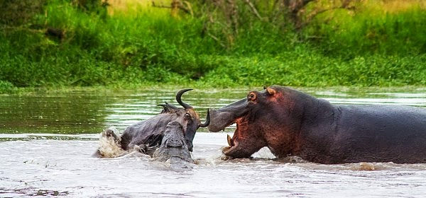 Hippo arrives to help crocodile take down the wildebeest at South Africa's Londolozi Pioneer reserve via geniushowto.blogspot.com wildlife photos