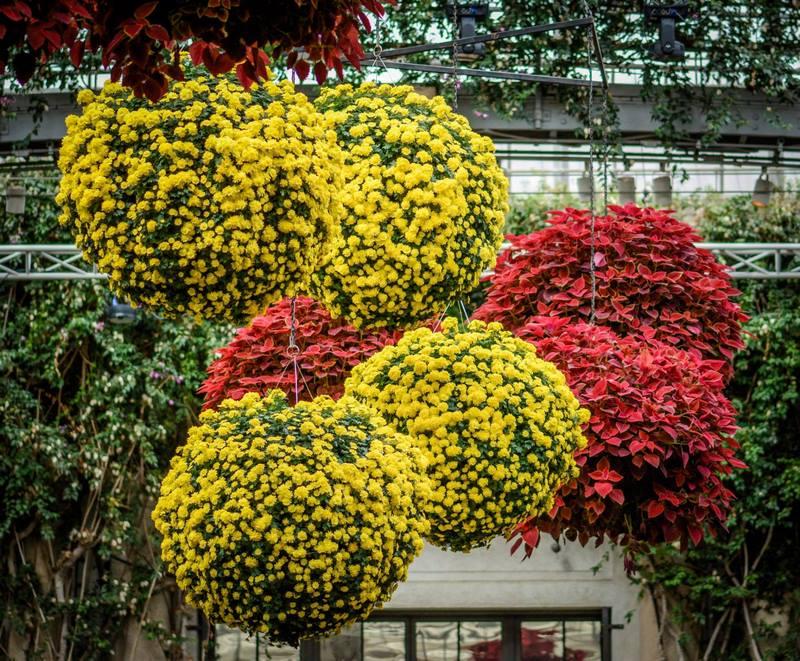 Flores de crisantemos amarillos y hojas rojas de coleo en cestas colgantes
