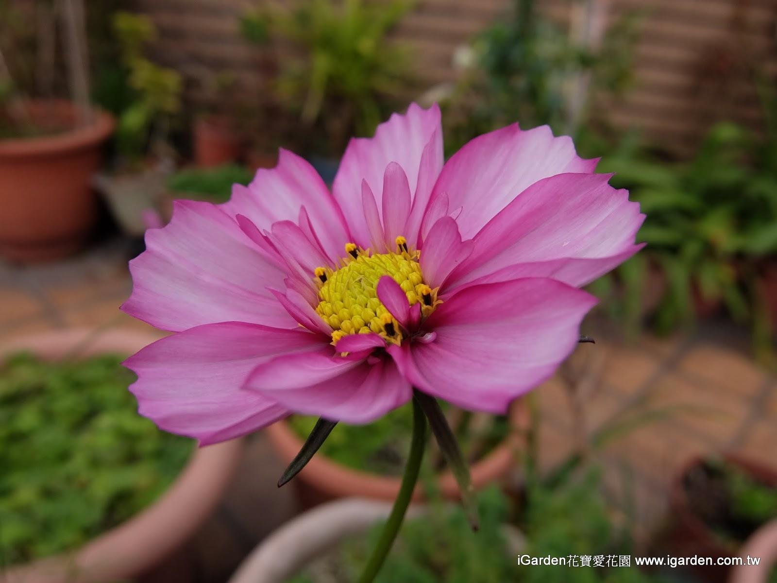 精采Q&A:哪些草花播種後可以在2個月內開花呢 - 園藝部落格:iGarden 花寶愛花園園藝文摘Plus