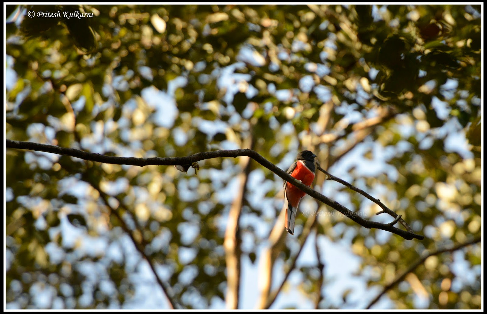 Malabar Trogon  at Old Magazine House