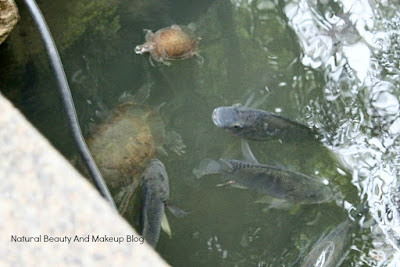 Fish and turtles floating in pond at Jardim De Lou Lim Ieoc Garden of Macao, a beautiful natural park