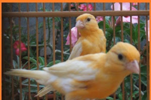 Tips sederhana merawat burung kenari