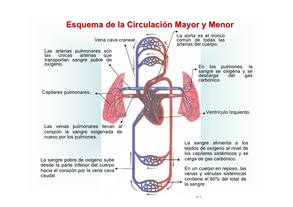 Circuito Que Realiza La Sangre : Lugar verde aparato circulatorio