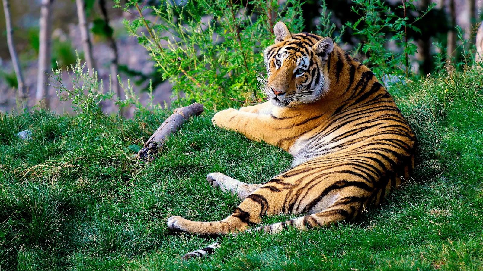 8k Animal Wallpaper Download: Top 35 Most Beautiful Tiger Wallpapers