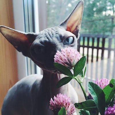 Cute Sphynx