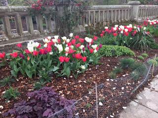 Bodnant tulips