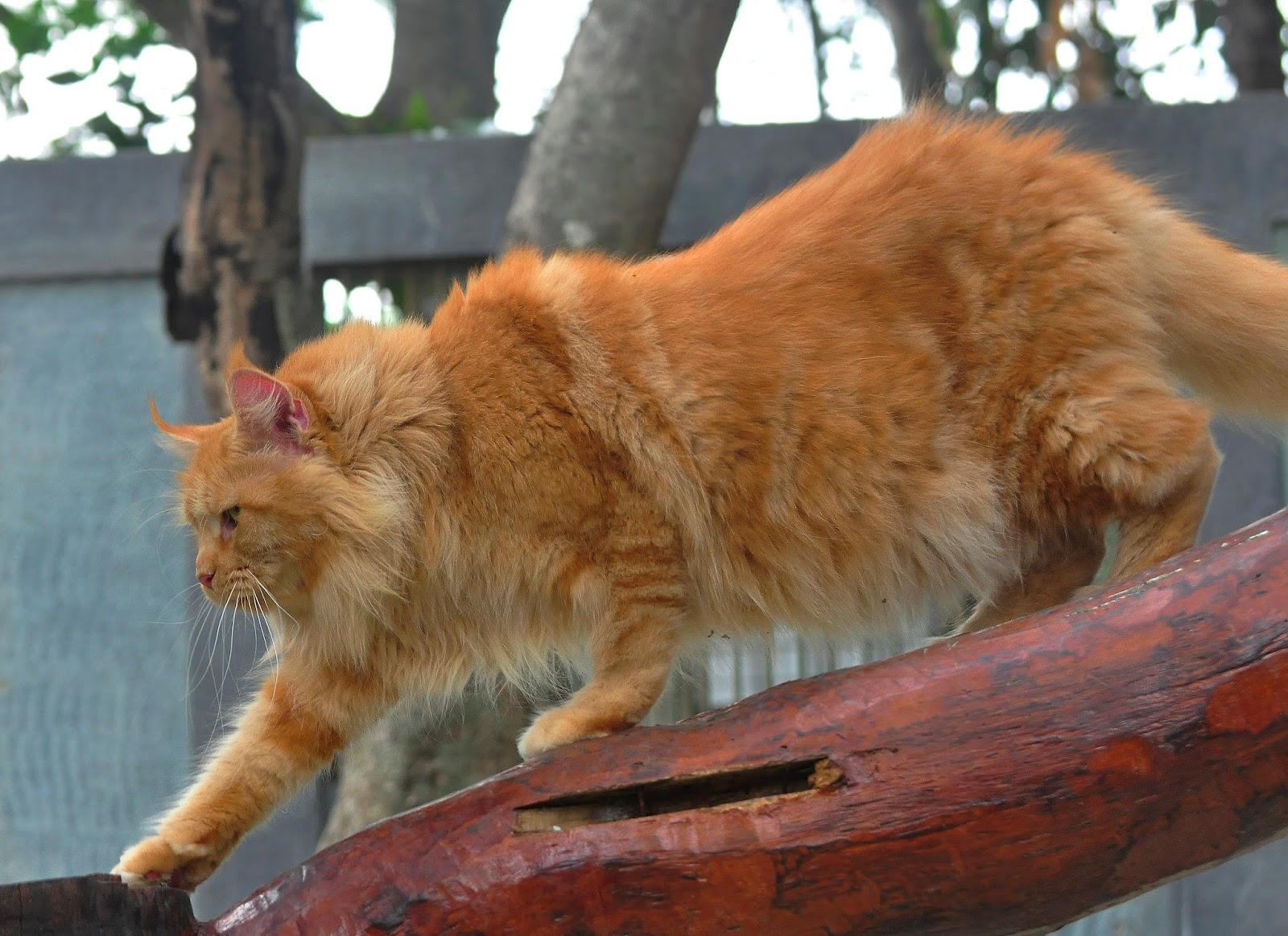 Inilah 5 Ras Kucing Peliharaan