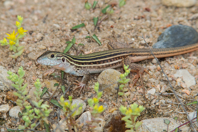 Lagarto-da-cauda-de-chicote no Red Rock Canyon