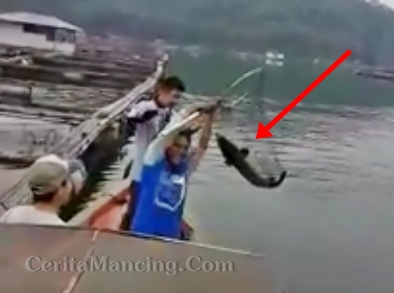 Mancing Strike Ikan Toman Monster Seru