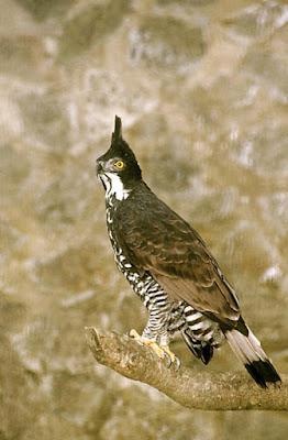 Blyth´s hawk Eagle