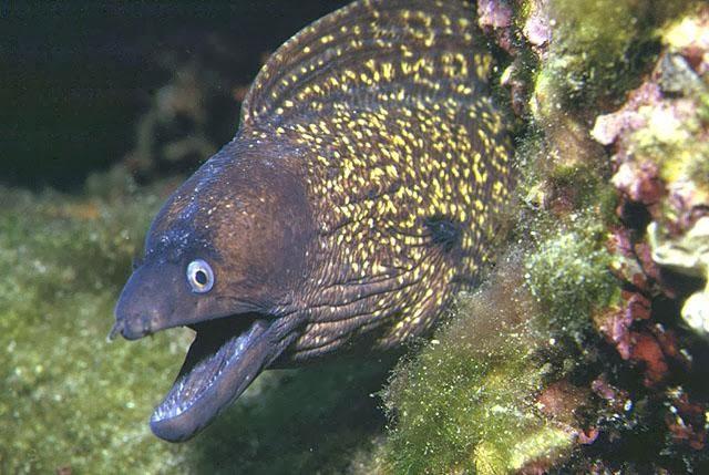 Müren balığı hakkında bilgi