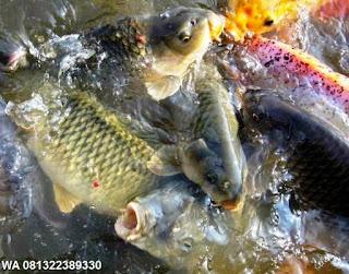 Umpan Serbuk Ikan Mas Terbaik
