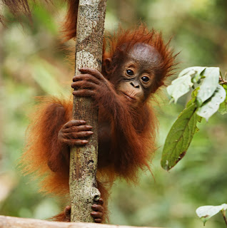orangutan child