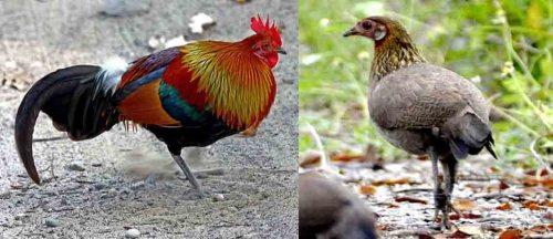 Hewan Kesayangan The Red Jungle Fowl