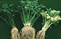 akar tanaman seledri