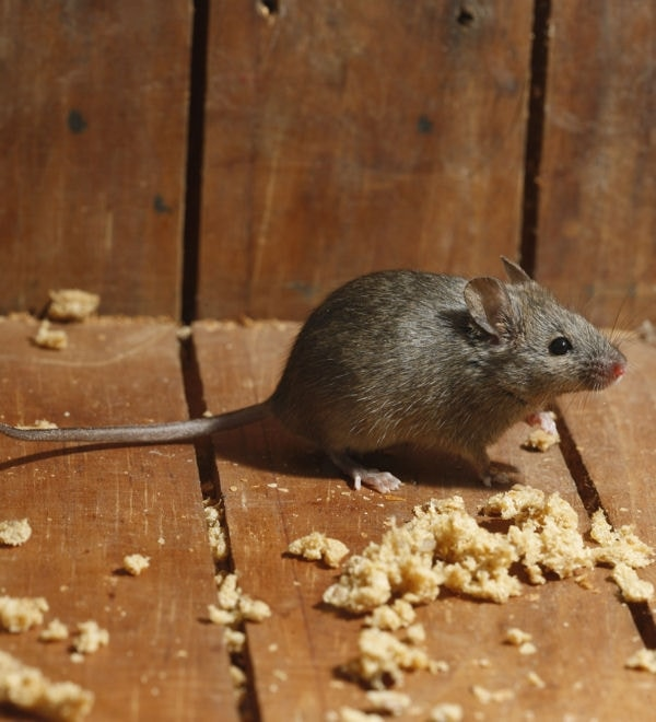 voici des astuces pour vous d barrasser des rats sans produits chimiques livgoofrance. Black Bedroom Furniture Sets. Home Design Ideas