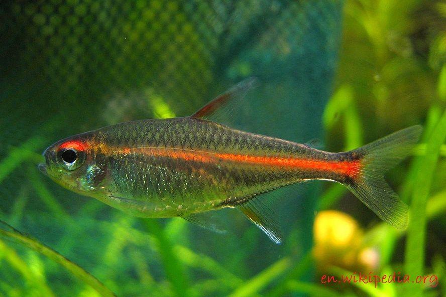 Glowlight Tetra - Jenis Jenis Ikan Hias Air Tawar Aquascape Paling Lengkap