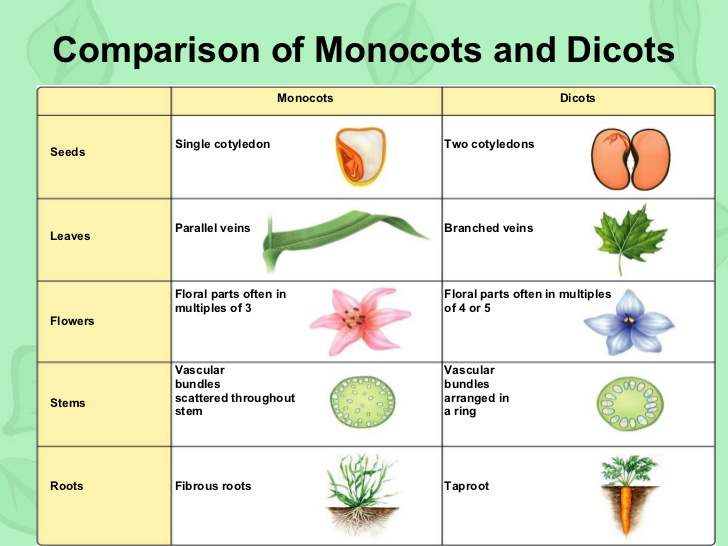 Class XI Biology: Chapter 3- Plant kingdom 10 Examples Of Monocot Plants