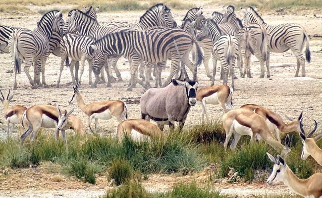 Xvlor.com Etosha National Park is wildlife ring of 22,270 sq km in Etosha pan