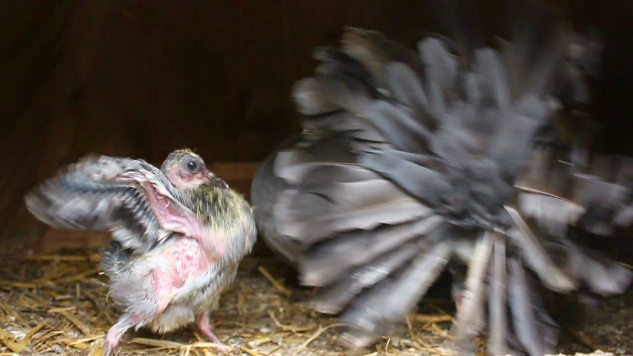Baby fantail indicating it is hungry